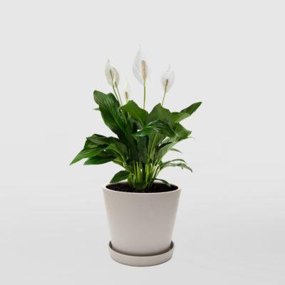 Peace Lily Ecopot Whitestone 200mm