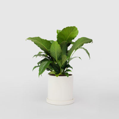Peace Lily NF Ceramic Pot Small