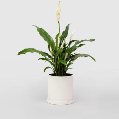 Peace Lily White Ceramic Pot Set 150mm