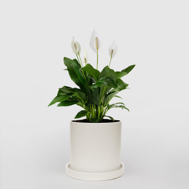 Peace Lily White Ceramic Pot Set 210mm