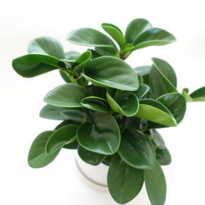 Peperomia Ceramic Small Leaves