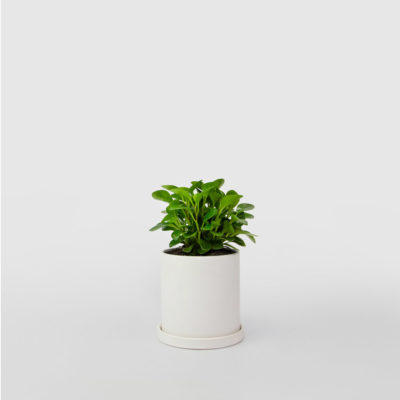 Peperomia White Ceramic Pot Set 100mm