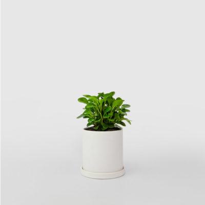Peperomia White Ceramic Pot Set 100mm