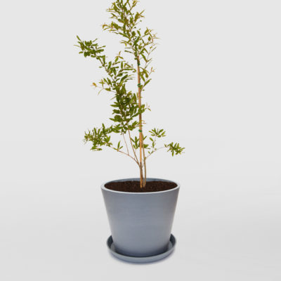 Pomegranate Tree Ecopot Blue Grey 300mm