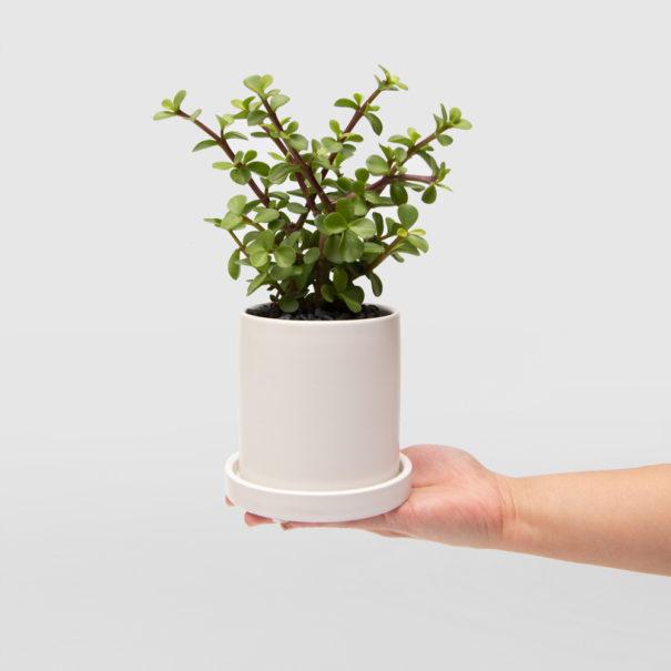 Portulacaria Afra Jade Plant White Ceramic Pot Set 100mm hand