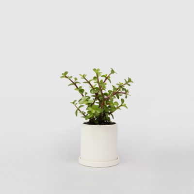 Portulacaria Afra Jade Plant White Ceramic Pot Set 100mm