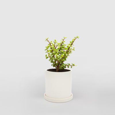 Portulacaria Afra Jade Plant White Ceramic Pot Set 150mm
