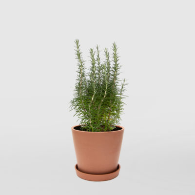 Rosemary Ecopot Terracotta 200mm