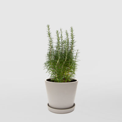 Rosemary Ecopot Whitestone 200mm