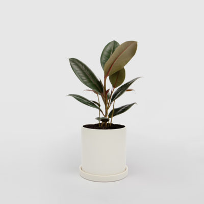 Rubber Plant Ficus Elastica White Ceramic Pot Set 150mm