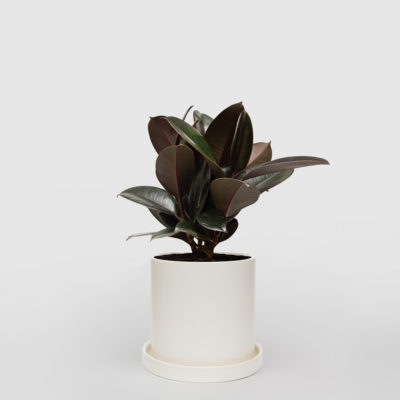 Rubber Plant Ficus Elastica White Ceramic Pot Set 210mm