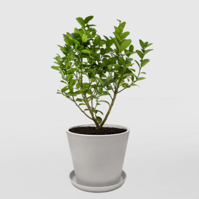 Sublime Lime Tree Patio Ecopot Whitestone 300mm