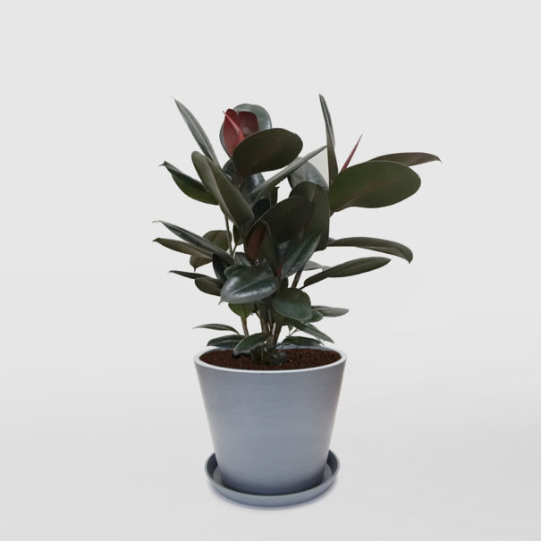 Ficus Elastica Burgundy Rubber Plant Ecopot Blue Grey300mm