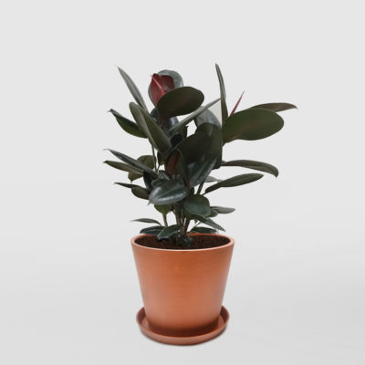 Ficus Elastica Burgundy Rubber Plant Ecopot Terracotta 300mm