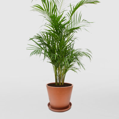 Golden Cane Palm Ecopot Terracotta 300mm