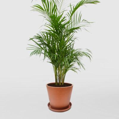 Golden Cane Palm Ecopot Terracotta 300mm