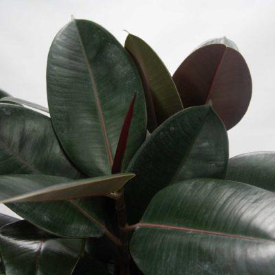 Rubber Plant Ficus Elastica Burgundy