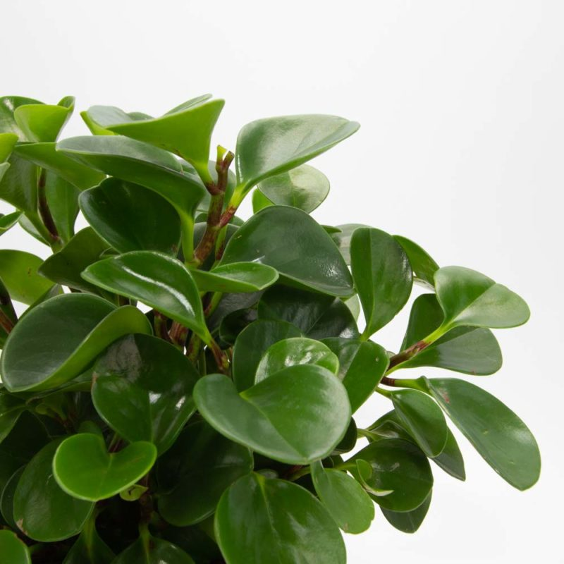 Peperomia Baby Rubber Plant Care