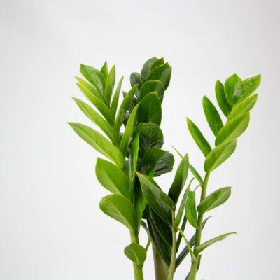 Zanzibar Gem Plant Care