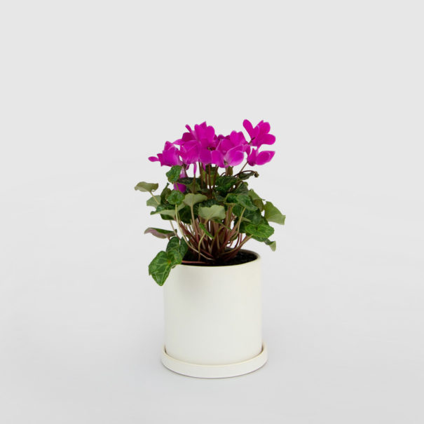 Cyclamen White Ceramic Pot Set 150mm