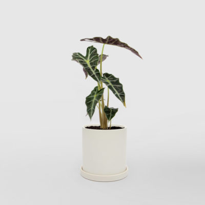 Elephant Ears Alocasia Polly Amazonica White Ceramic Pot Set 150mm