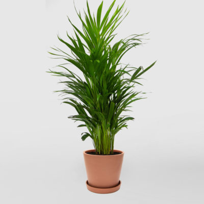 Golden Cane Palm Ecopot Terracotta 200mm