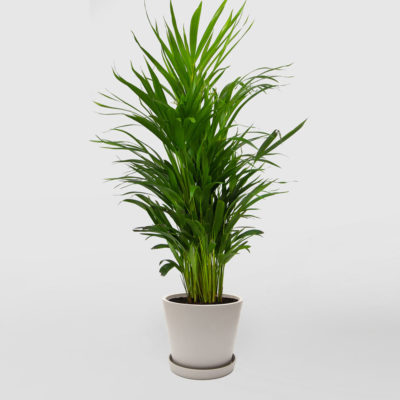 Golden Cane Palm Ecopot Whitestone 200mm