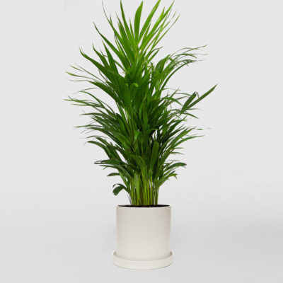 Golden Cane Palm White Ceramic Pot Set 210mm