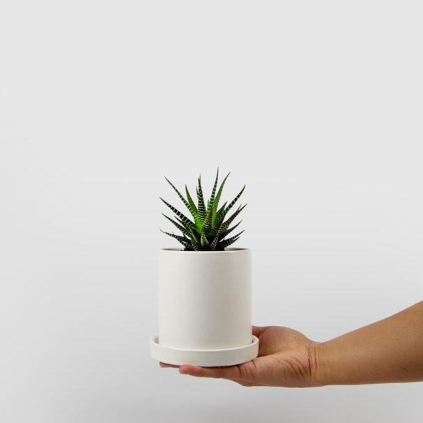 Haworthia Succulent White Ceramic Pot Set 100mm