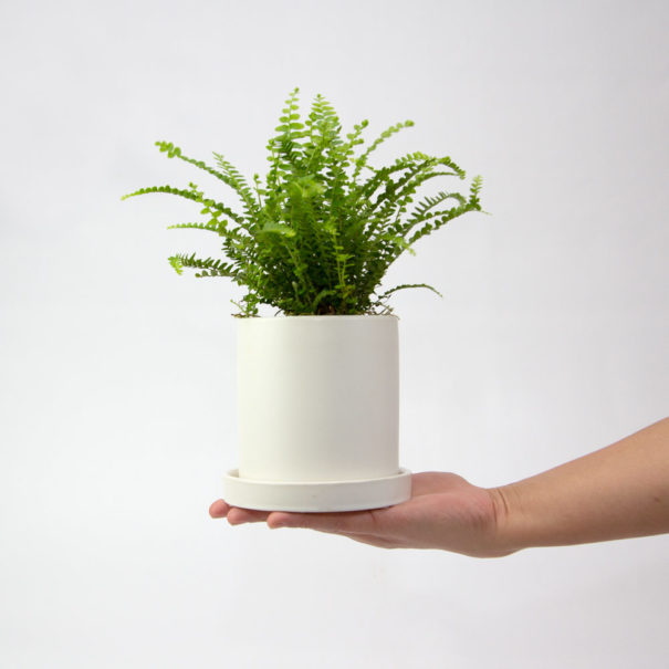 Lemon Button Fern Duffii White Ceramic Pot Set 100mm 2