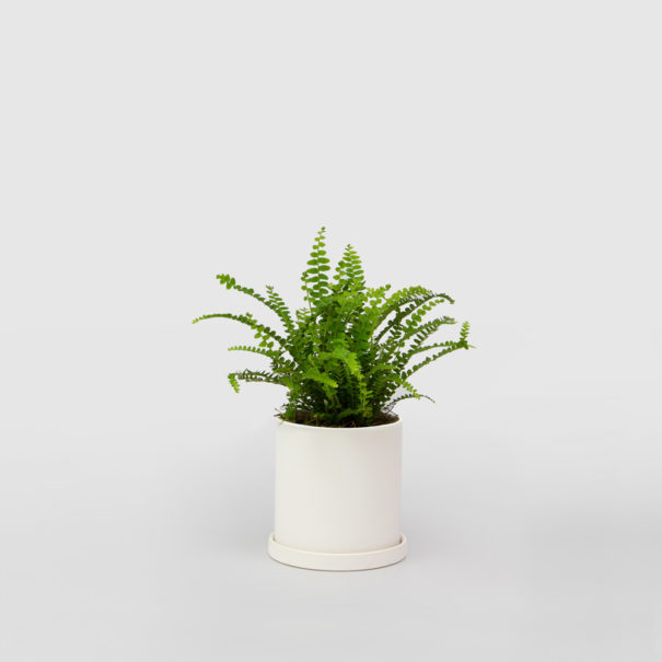 Lemon Button Fern Duffii White Ceramic Pot Set 100mm