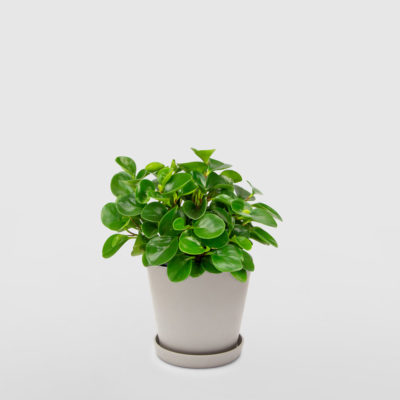 Peperomia Ecopot Whitestone 200mm