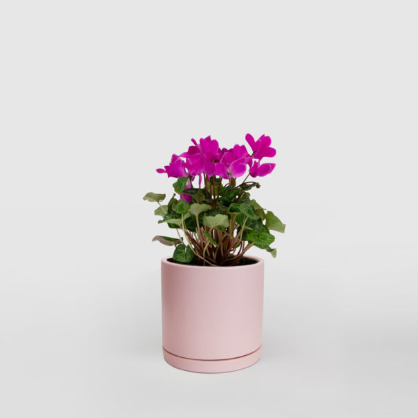 Pink Cyclamen