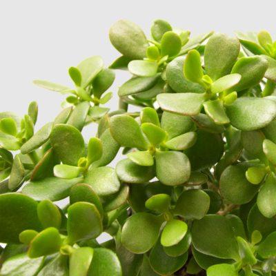 Jade Plant Money Tree White Ceramic Pot 150mm 2