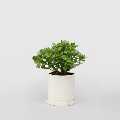 Jade Plant Money Tree White Ceramic Pot 150mm