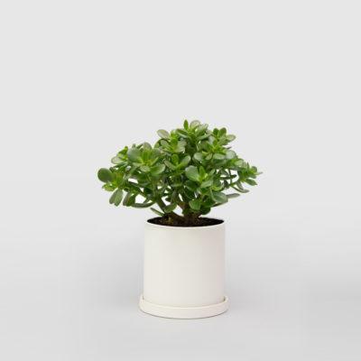 Jade Plant Money Tree White Ceramic Pot 150mm