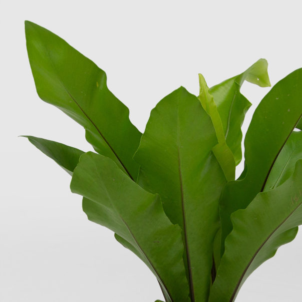 Birds Nest Fern Care