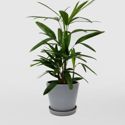 Lady Palm Ecopot Blue Grey 200mm
