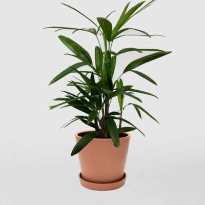 Lady Palm Ecopot Terracotta 200mm