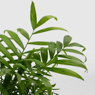 Parlour Palm Care
