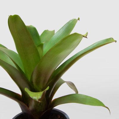 Bromeliad Rubra