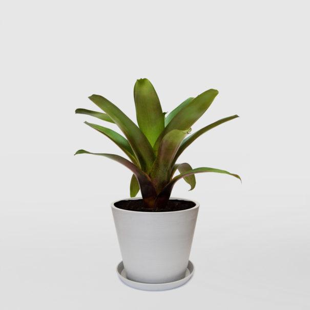 Bromeliad Rubra Ecopot Whitestone 300mm
