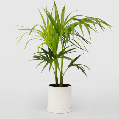 Kentia Palm Ceramic Pot Set 210mm
