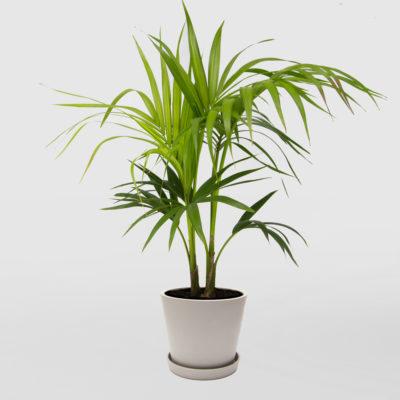 Kentia Palm Ecopot Whitestone 200mm