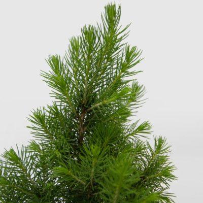 Mini Christmas Tree Picea Glauca