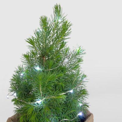 Mini Christmas Tree Picea Glauca Lights