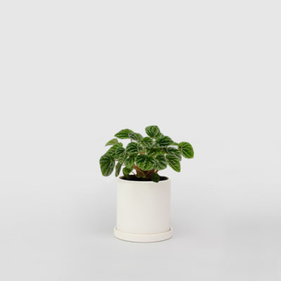 Peperomia Caperata White Ceramic Pot Set 100mm