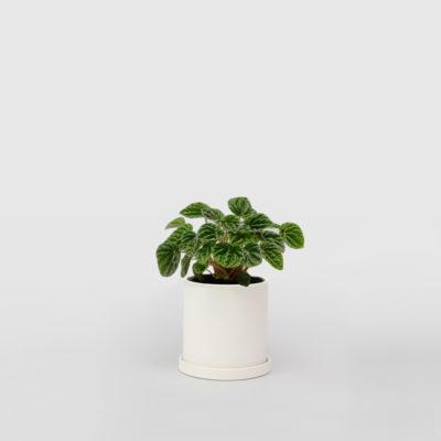 Peperomia Caperata White Ceramic Pot Set 100mm