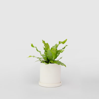 Crocodile Fern White Ceramic Pot Set 150mm