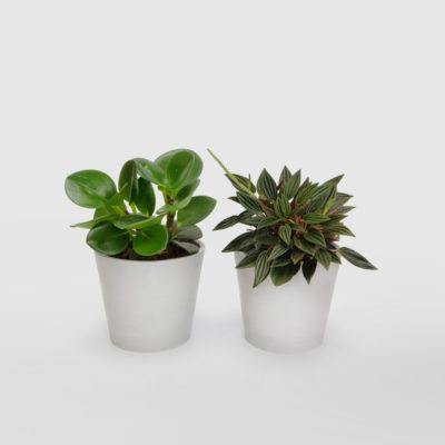 Peperomia Duo Mini Ecopot Whitestone